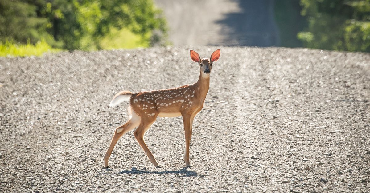 U.S. studies world's first deer with COVID-19